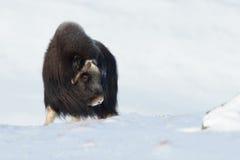 Musk Ox in winter Stock Photos
