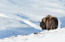 Musk Ox in winter, Norway Stock Photo