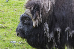 Musk ox. In zoo in northern Finland stock photography