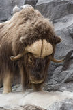 Musk Oxen Stock Photos