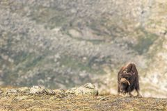 Musk oxen Norway. This is a photo of musk oxen in Dovrefjell National park in Norway royalty free stock photography