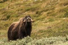 Musk oxen Norway. This is a photo of musk oxen in Dovrefjell National park in Norway stock photos