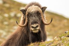 Musk oxen Norway. This is a photo of musk oxen in Dovrefjell National park in Norway royalty free stock images
