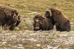 Musk oxen Norway. This is a photo of musk oxen in Dovrefjell National park in Norway stock photo