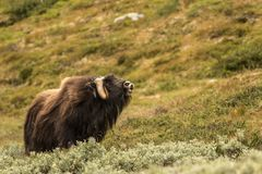 Musk oxen Norway. This is a photo of musk oxen in Dovrefjell National park in Norway stock image