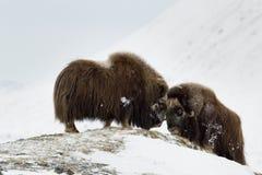 StridighetMusk-oxen parar i Norge Arkivfoton
