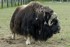 Musk oxen Royalty Free Stock Image