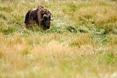 Musk Oxen (Ovibos moschatus) Royalty Free Stock Photo