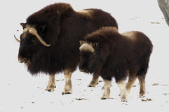 Musk-oxs On The Fresh Snow Stock Photos