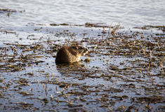 Musk Rat in Pond Royalty Free Stock Photo