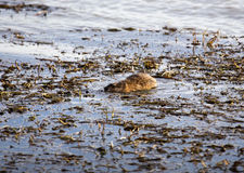 Musk Rat in Pond Royalty Free Stock Photos