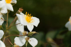 Musk rose Rosa moschata Royalty Free Stock Images