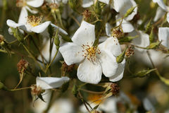Musk rose Rosa moschata. Flower of a musk rose Rosa moschata Royalty Free Stock Photos