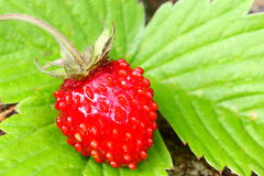 Musk strawberry. Detail of ripe red strawberry fruit on green leaf Royalty Free Stock Images