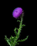 Musk thistle on the black background. Musk thistle or nodding thistle on the black background Royalty Free Stock Image