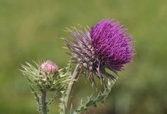Musk Thistle - Carduus nutans Stock Images