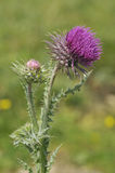 Musk Thistle - Carduus nutans Stock Image