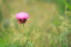 Musk Thistle (Carduus nutans  L.) Royalty Free Stock Photo