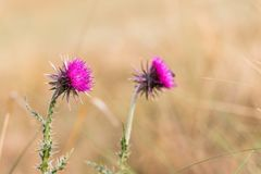 Musk thistle Carduus nutans in sunny day Stock Photography