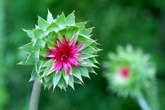 Musk Thistle (Carduus nutans) Wisconsin Royalty Free Stock Photos