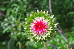 Musk Thistle, Yellowstone. The Musk Thistle Asteraceae Carduus nutans is blooming at Yellowstone Stock Photography