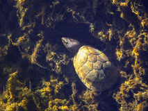 Musk Turtle Camoflauge. A Musk Turtle uses the surrounding aquatic plants to camoflauge and hide in the clear freshwaters of Ponce De Leon springs state park in Royalty Free Stock Images