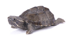 Musk turtle, Sternotherus odoratus. The Musk turtle, Sternotherus odoratus, is a small sized turtle species capable of emitting a foul odor, hence the name Royalty Free Stock Images