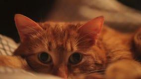 Muskać imbirowego kota zdjęcie wideo