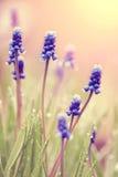 Muskari de florescência azul Fotografia de Stock