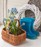 Muskari sprouts and blue rubber boots Stock Photos