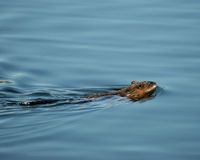 Muskat. Muskrat swimming Royalty Free Stock Photo