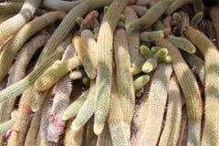 Muskatblüte des Kaktus Stockfotografie