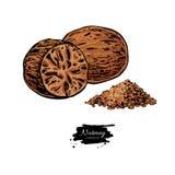 Muskatnussgewürz-Vektorzeichnung Grundgewürznussskizze Kräuterbestandteil, kulinarisch und Aroma kochend stock abbildung