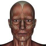 Muskel 3D des Mannes Lizenzfreie Stockfotos