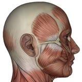 Muskel 3D des Mannes Stockfoto