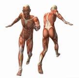 muskel för modell 3d stock illustrationer