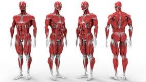 Muskel- och benanatomi vektor illustrationer