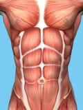 Muskelanatomi av den manliga bröstkorgen Fotografering för Bildbyråer