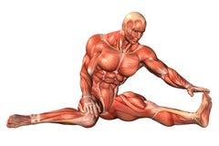 Muskelanatomie Stockfoto