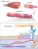 Muskelfiberstruktur som visar dystrophinläge Arkivbild