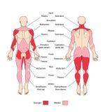 Muskelgruppen und -typen Stockbild
