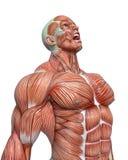 Muskelmannanatomie in einem weißen Hintergrund lizenzfreie abbildung