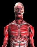 Muskeln 6 Lizenzfreies Stockfoto