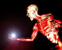 Muskeln auf menschlichem Körper 16 Lizenzfreies Stockbild