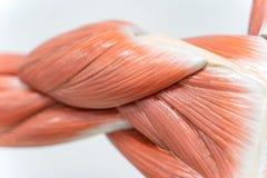 Muskeln der Schulter für Physiologieausbildung stockfoto
