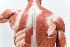 Muskeln des hinteren Modells für Physiologieausbildung lizenzfreie stockfotografie