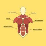 Muskelsystem av den mänskliga bröstkorgen Fotografering för Bildbyråer