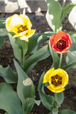 Musketeers Tulips Stock Photo
