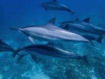 Muskler och ärr på spinnaredelfin royaltyfria bilder