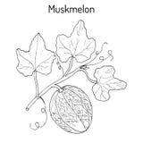 Muskmelon or Cucumis melo. Royalty Free Stock Photos